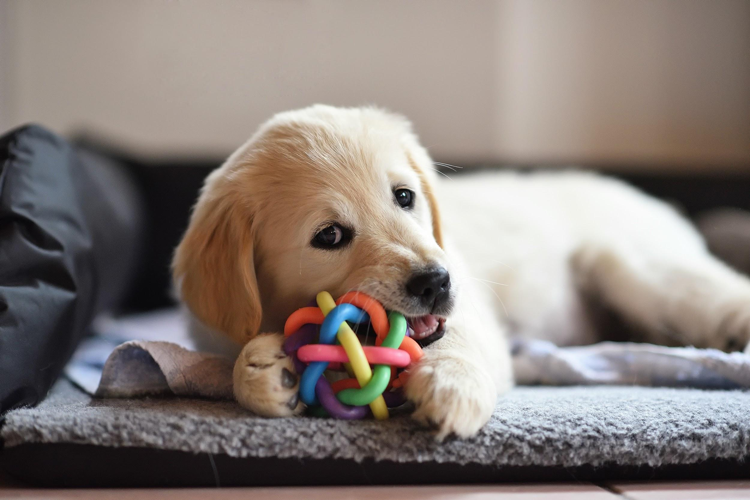 alt-tag-example_puppy-plays-with-chew-toy