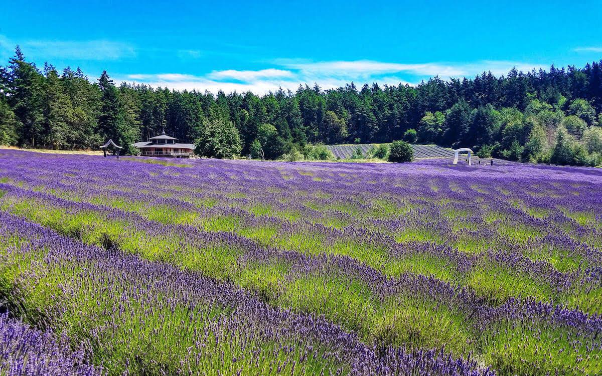 Merchant Stories: Pelindaba Lavender
